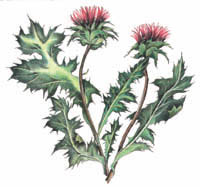 Traditional usage of holy blessed thistle