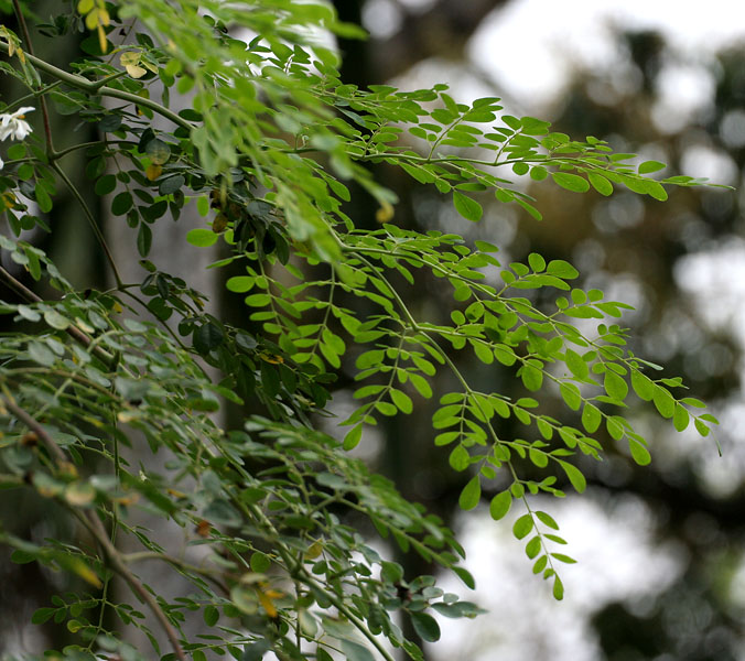 Moringa Oleifera The Miracle Plant